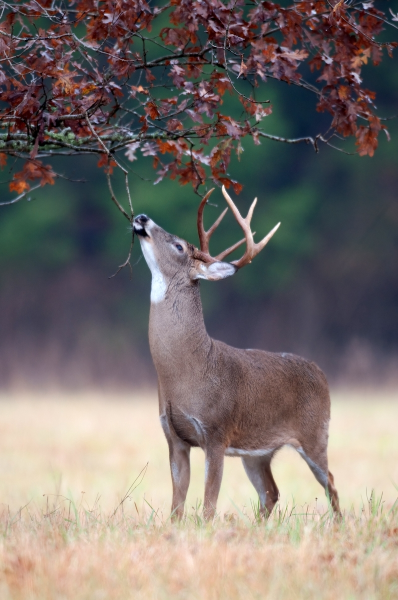 big whitetail buck making a scrape
